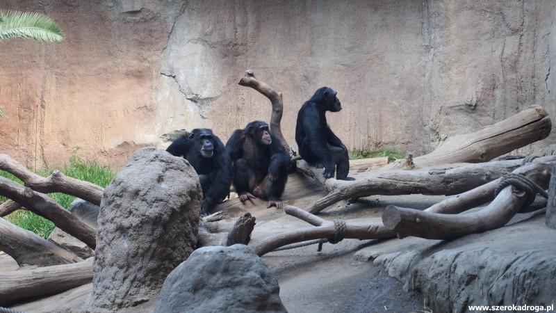 małpy w lipskim ZOO