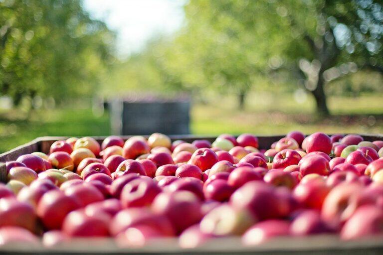 pierwszy cydr jabłkowy